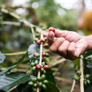 Bali Green Coffee Beans